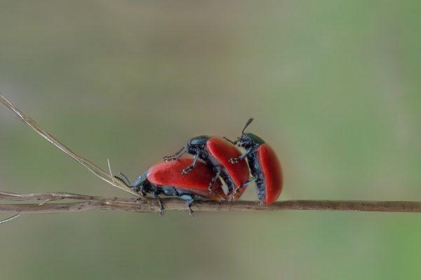 Beetles having a Threesome